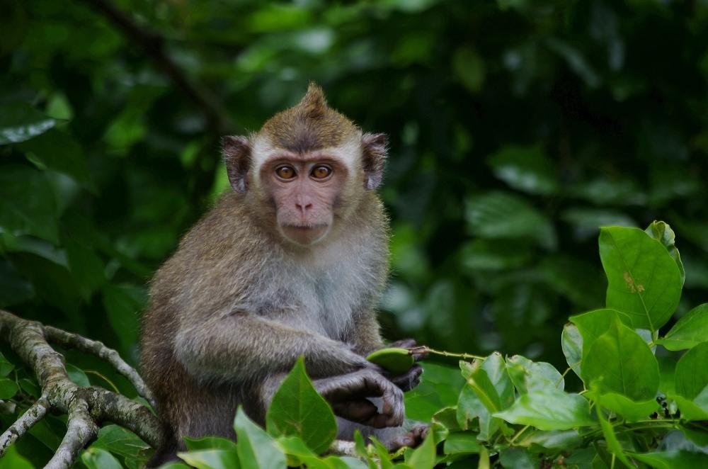 Wild Mauritius Monkey
