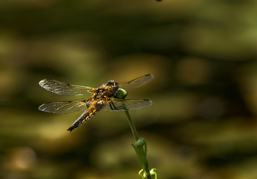 4 Spotted Chaser at Old Moor