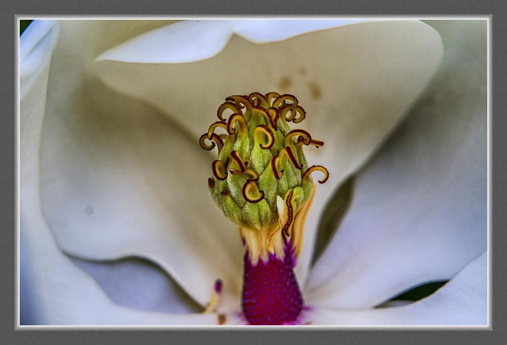 Asahi Pentax Super Takumar Macro magnolia goes good with prime plum
