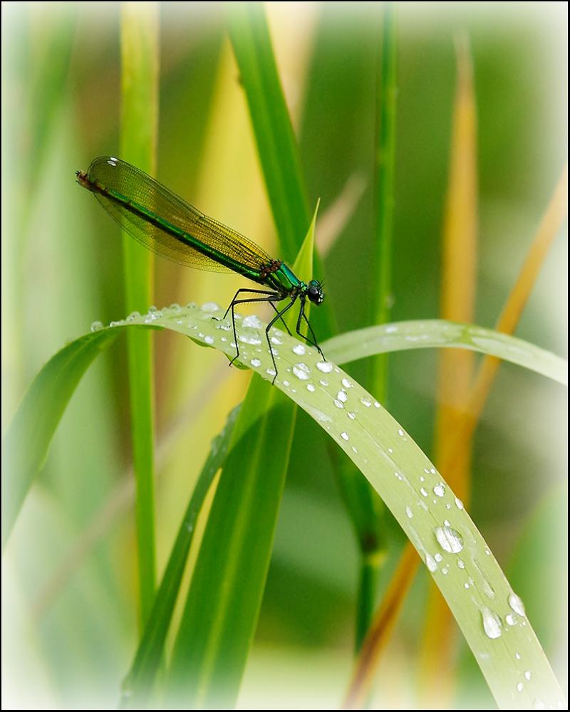 Banded demoiselle (Calopteryx splendens; female)