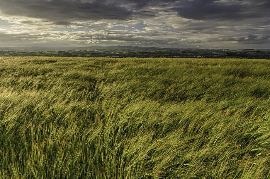 Blakemore Barley