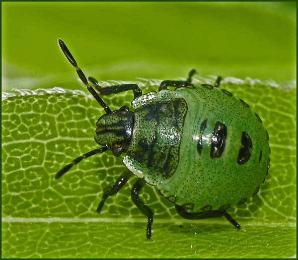 Immature Green Shield Bug
