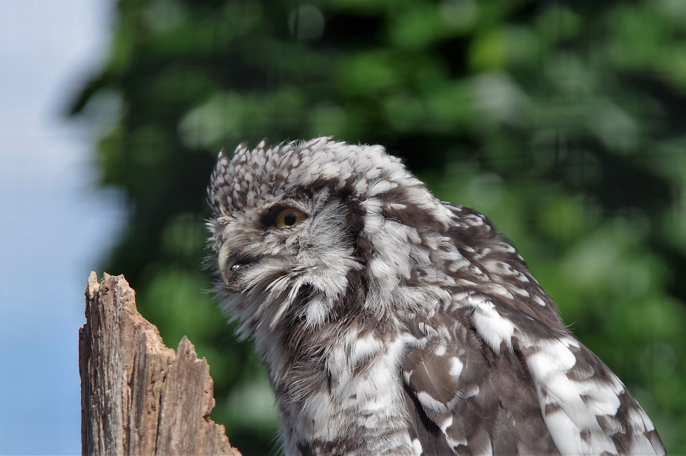 Chester Zoo - Owl
