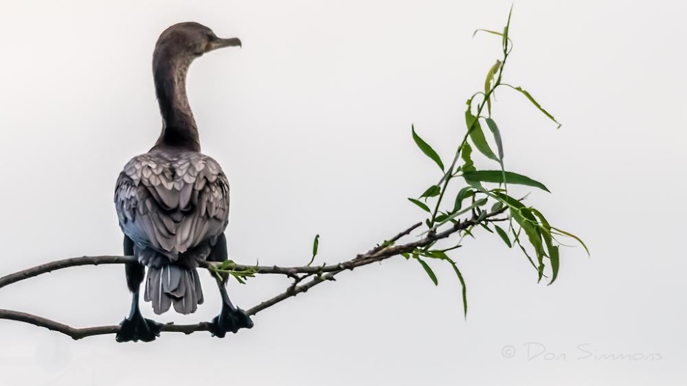 Cormorant Aesthetic