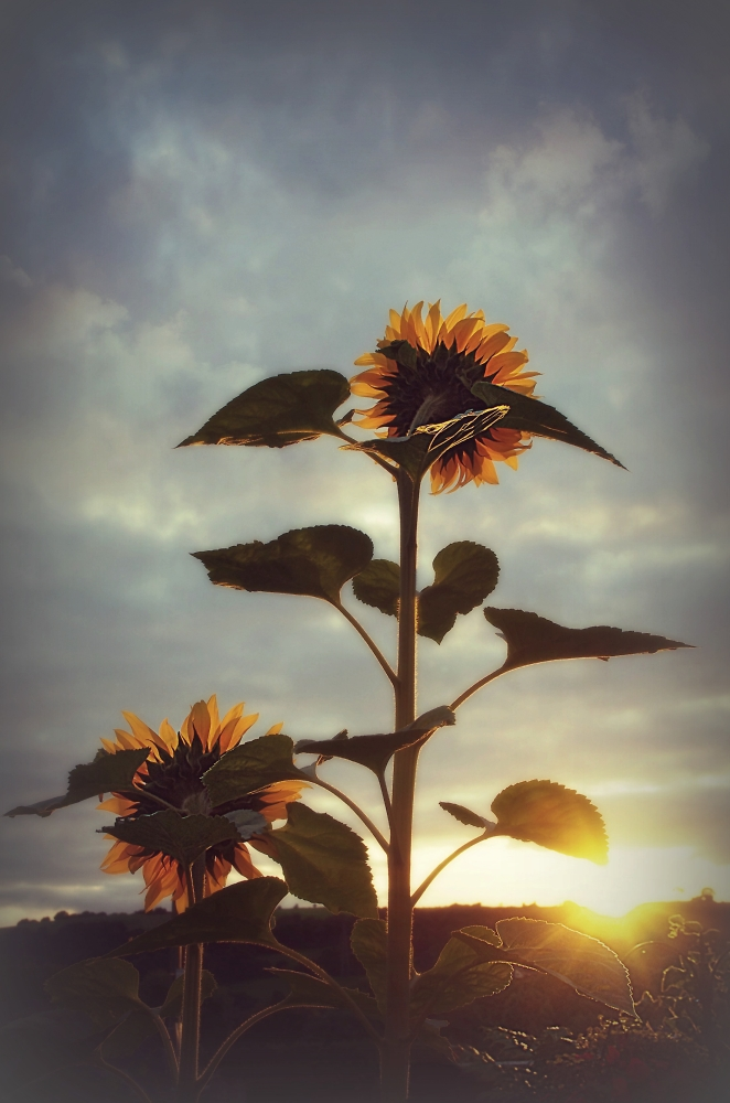Our Sunflowers saying goodnight to the Sun