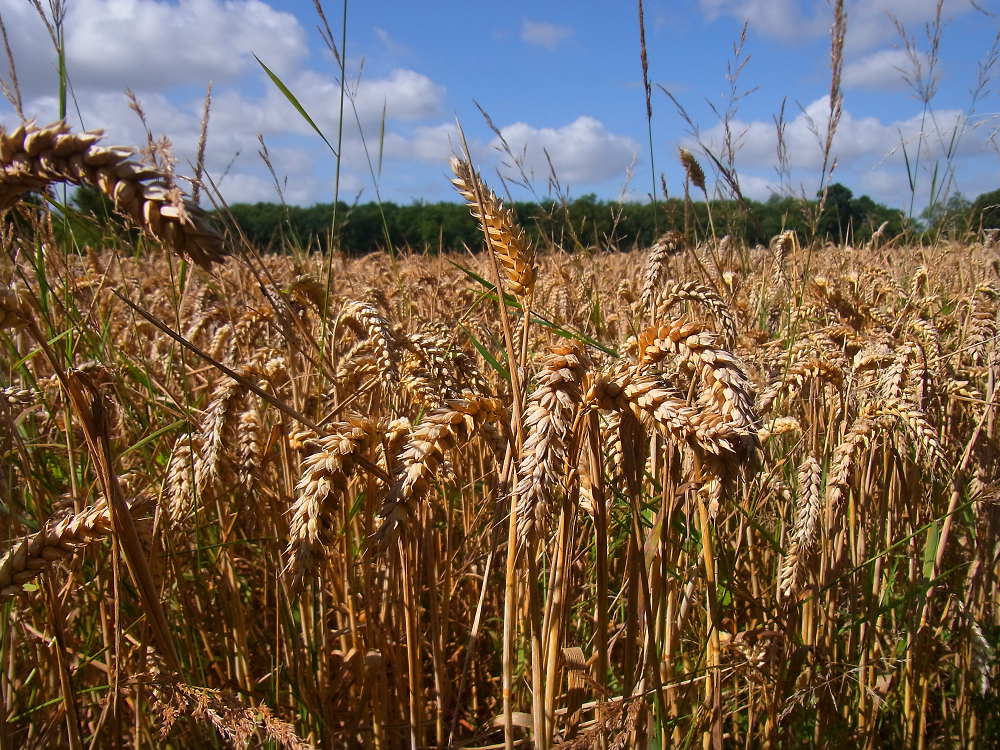 Ripening Wheat