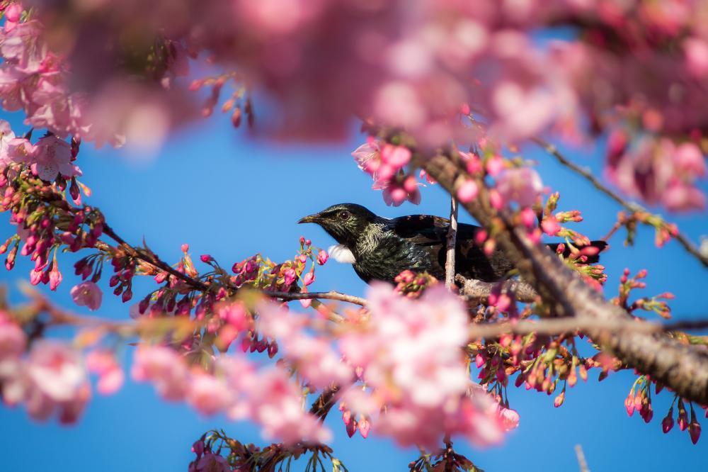 Spring Tui