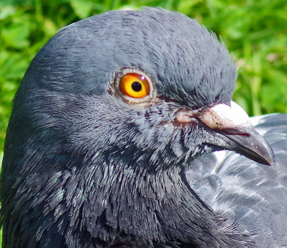 The eye of the pigeon.