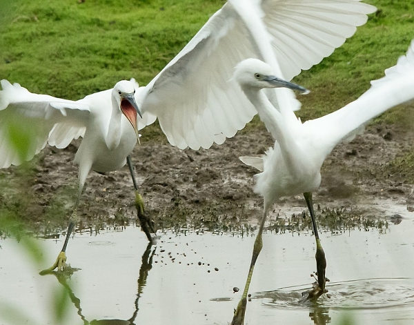 Angry Little Egret