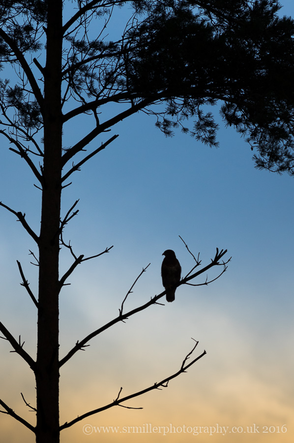 Buzzard sunrise