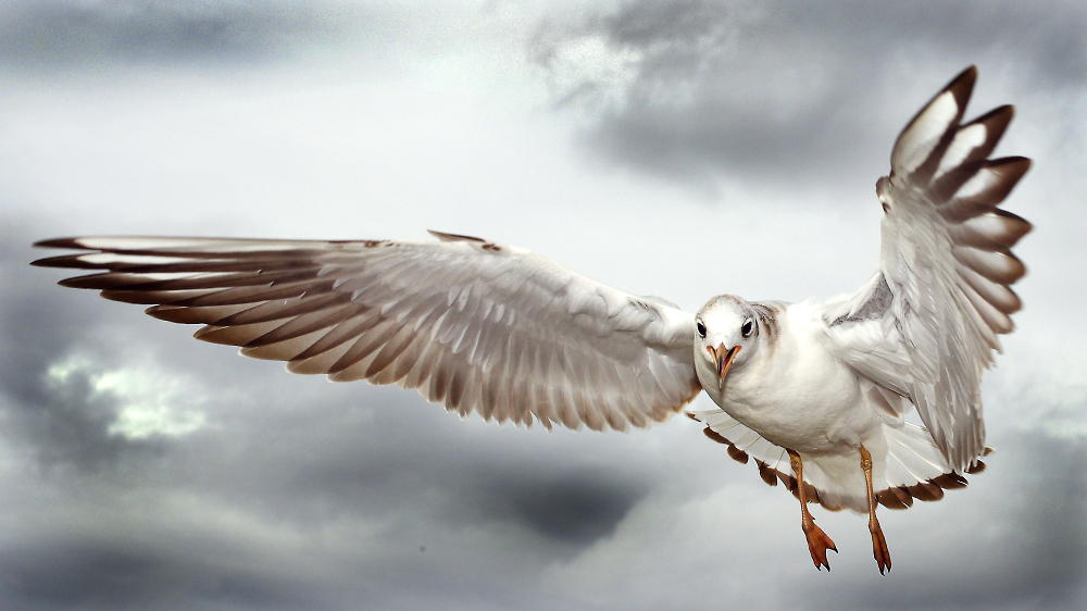 Southbank Seagull