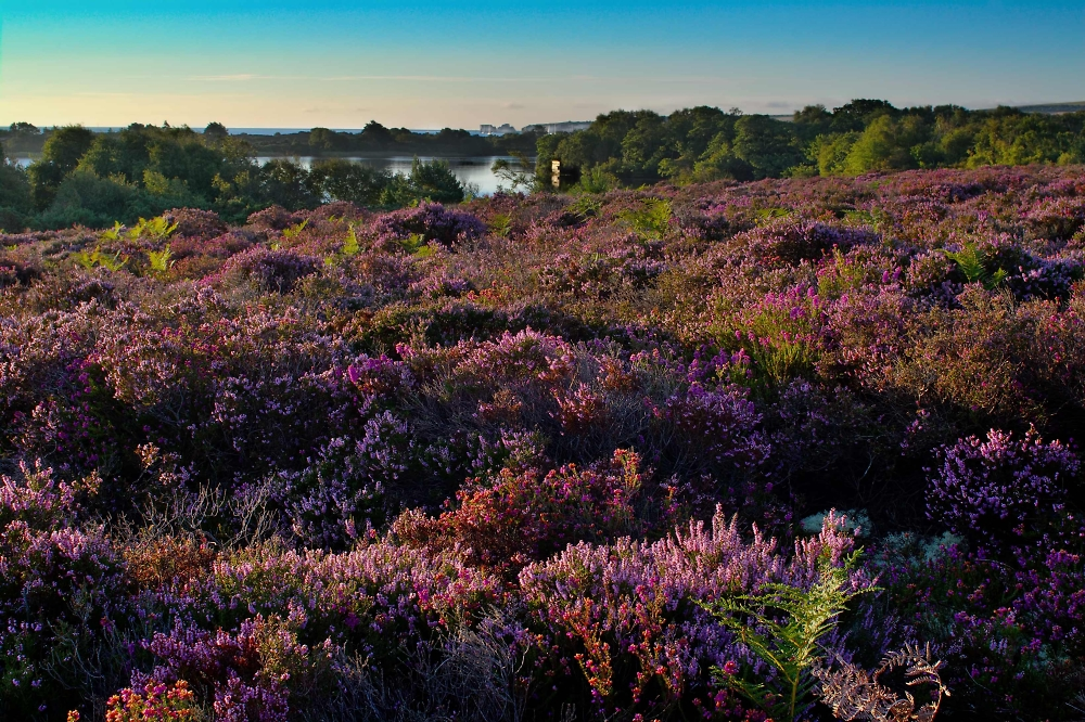 Studland Heath, Landscape