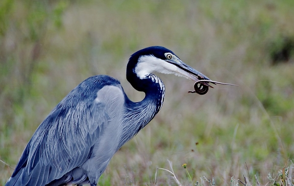 Black headed Heron with catch