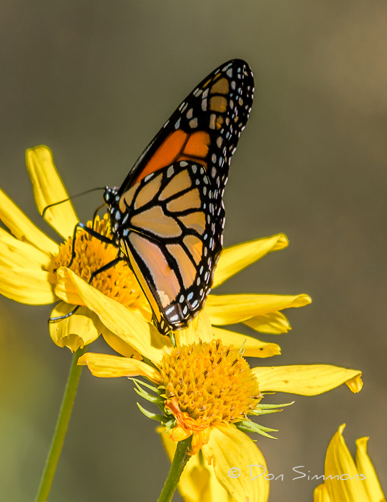 Monarch Butterfly During Migration
