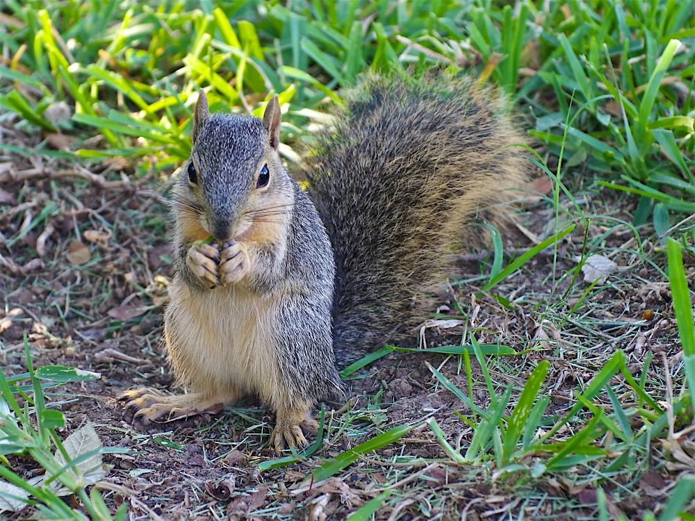 Texan Squirrel
