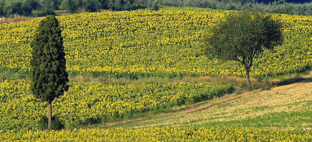 Trees & Sunflowers
