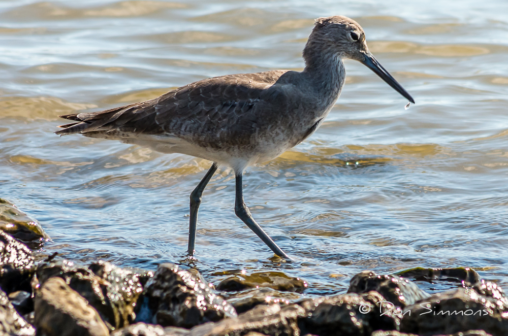 Here's a Willet...