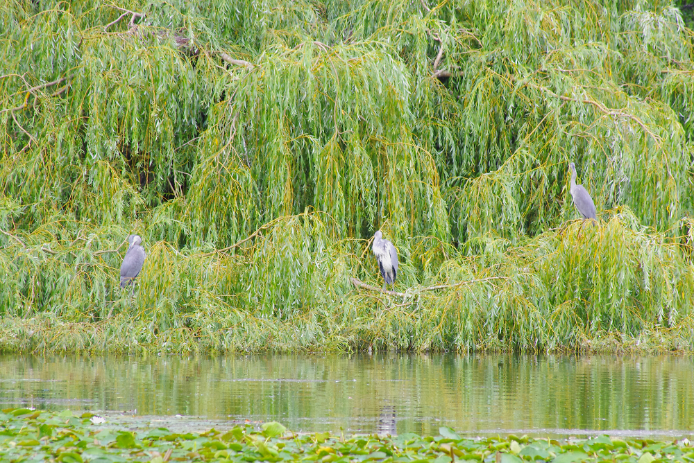 Heronry in the willows at Wollaton Lake