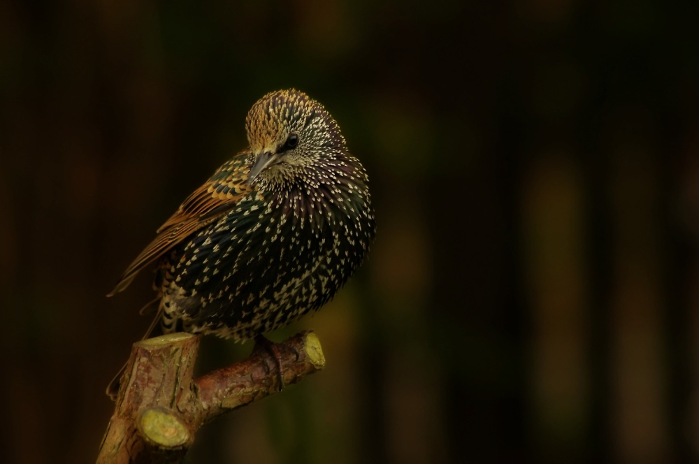 Starlings can be pretty too