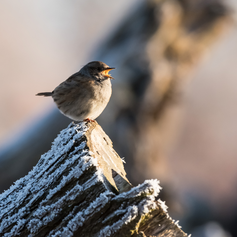 Dunnock on a frosty morning