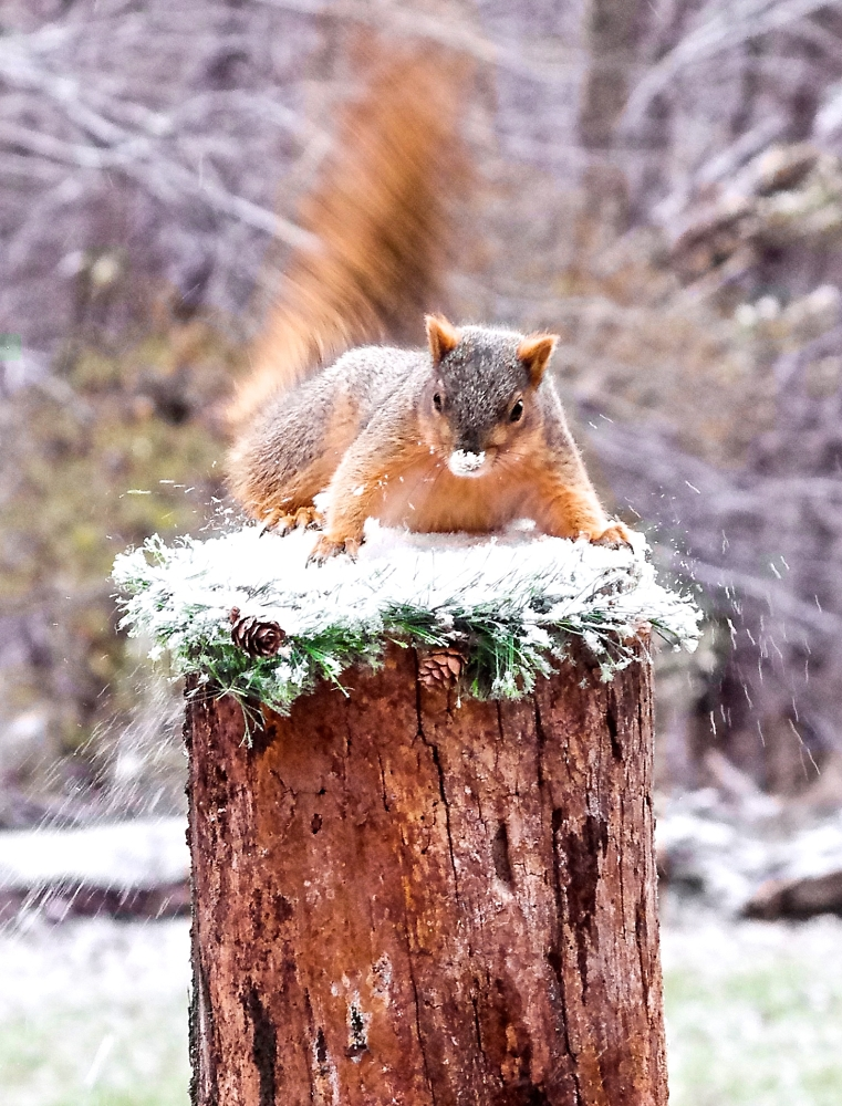 Squirrel in a Scurry
