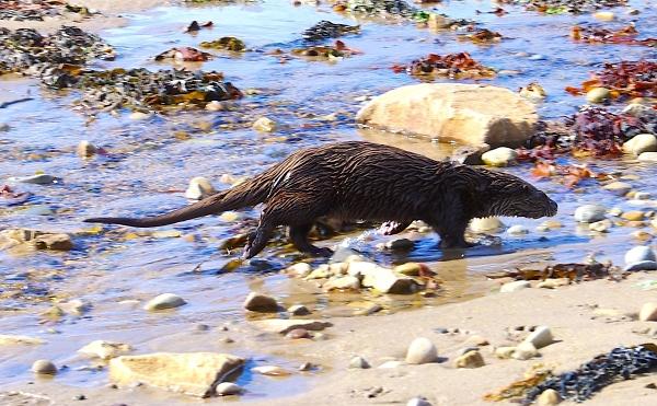 Arran Otter