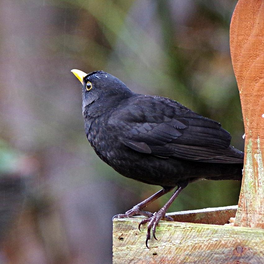a wet blackbird