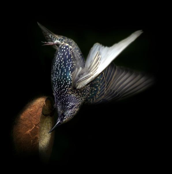 Acrobatic Starling