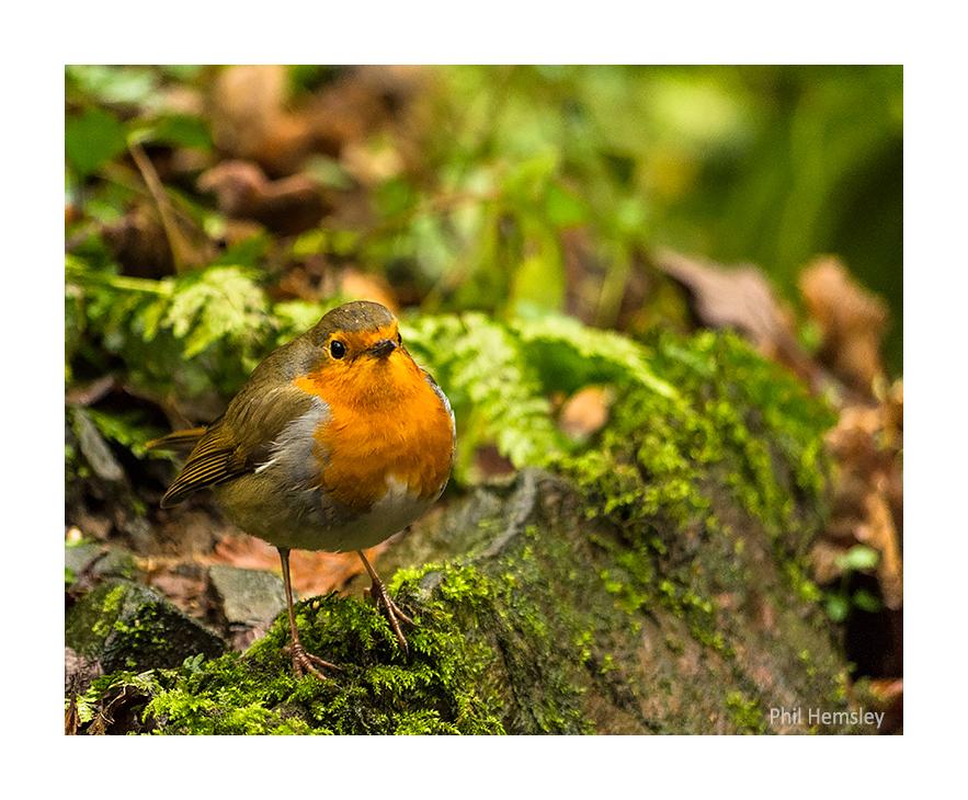 European Robin - Longtimber Woods