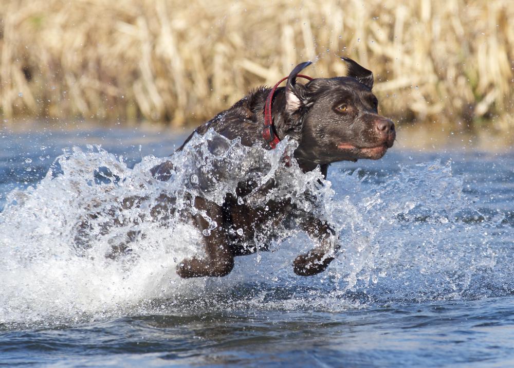 Labrador bounding
