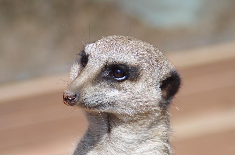 Meerkat pose