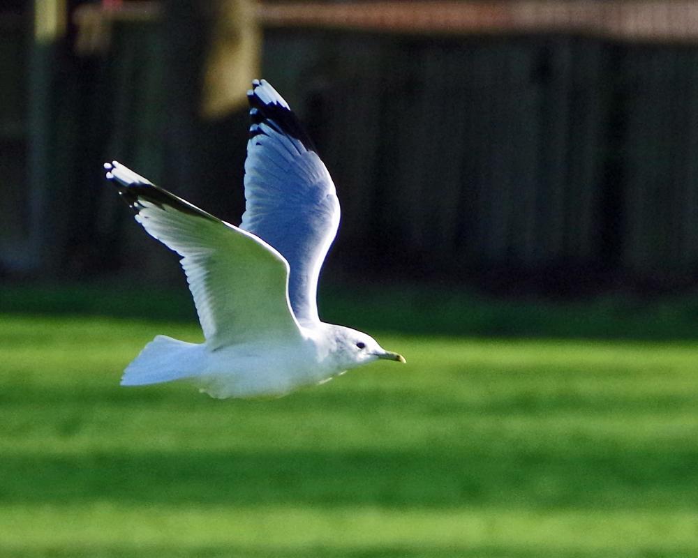 More gulls I'm afraid...
