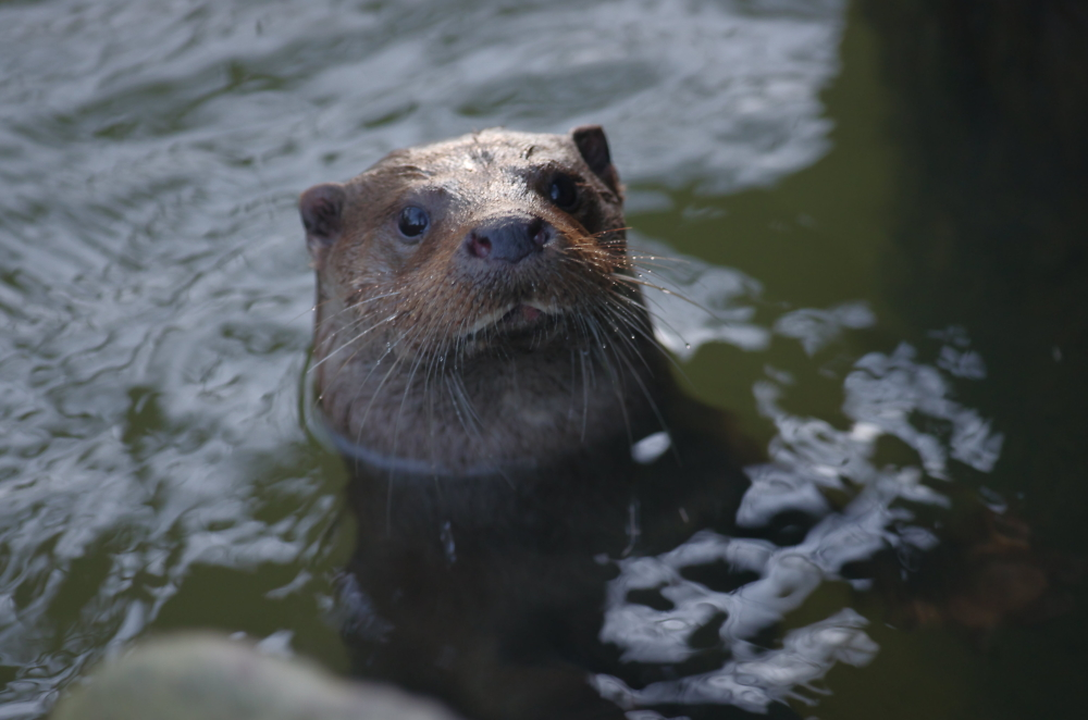 Nosey Otter