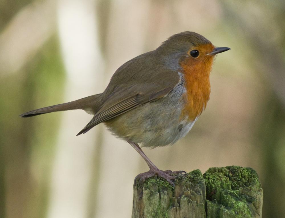obliging robin in the shade