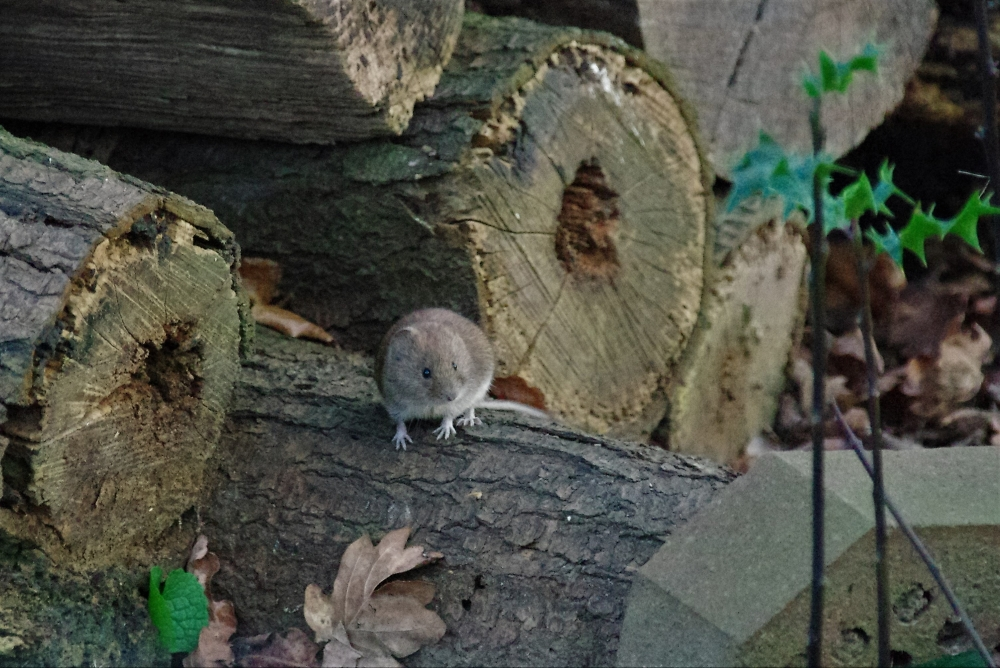 Enjoying the Sun. Field Mouse.