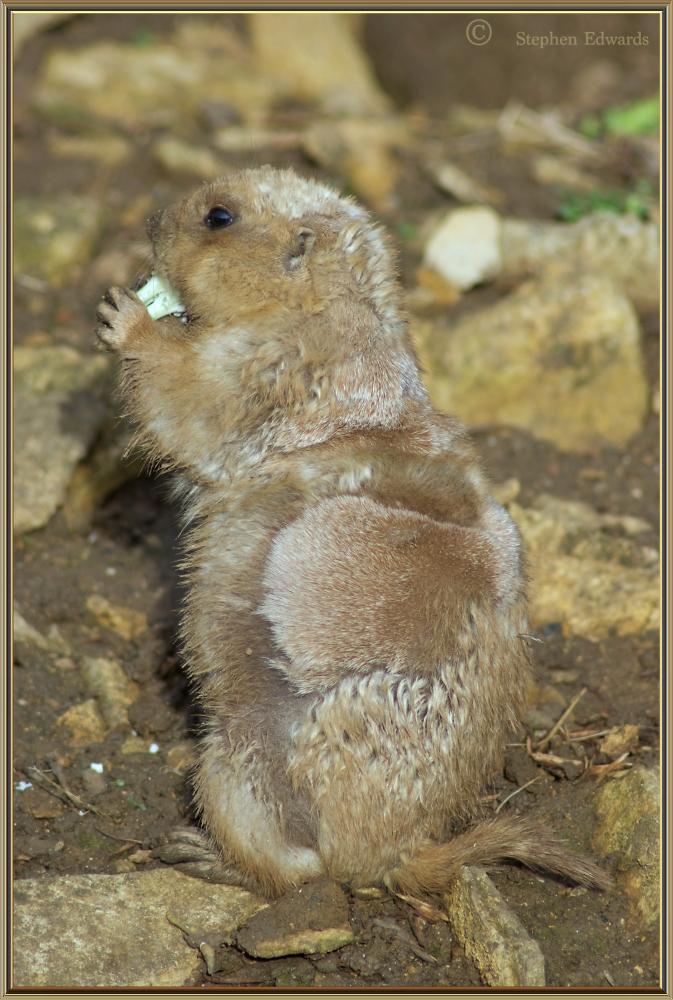 Prairie Dog feeding