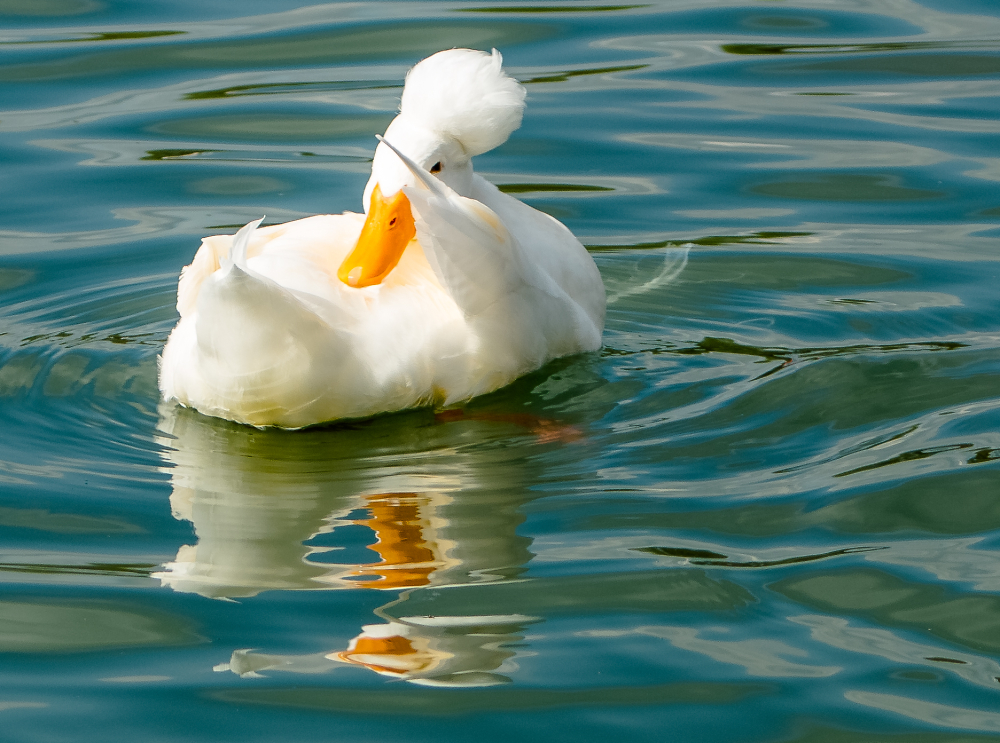 duck Salute