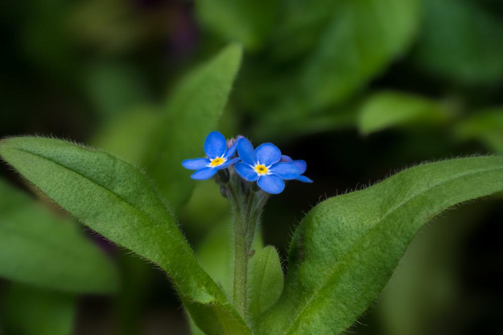 Little Blue Flowers 2