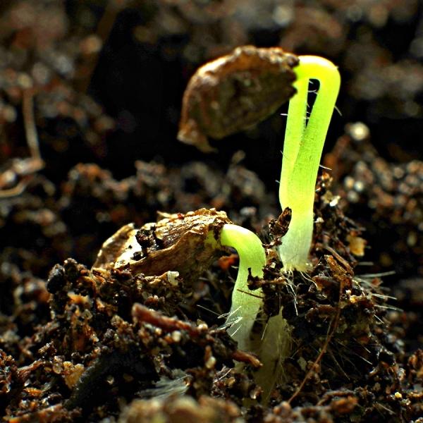 Delphinium seedlings