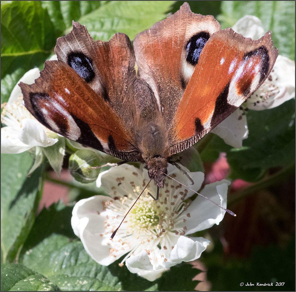 Peacock Butterfly feeding on Blackberry Flower