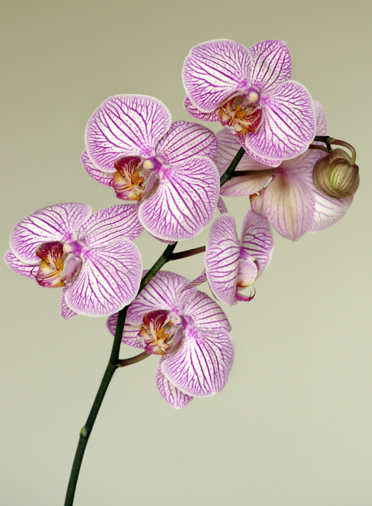 Pink birthday Orchid
