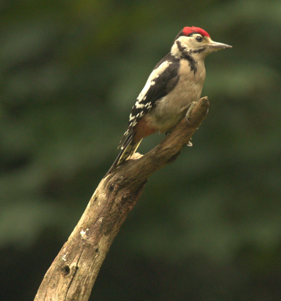 Woodpecker  middle spotted