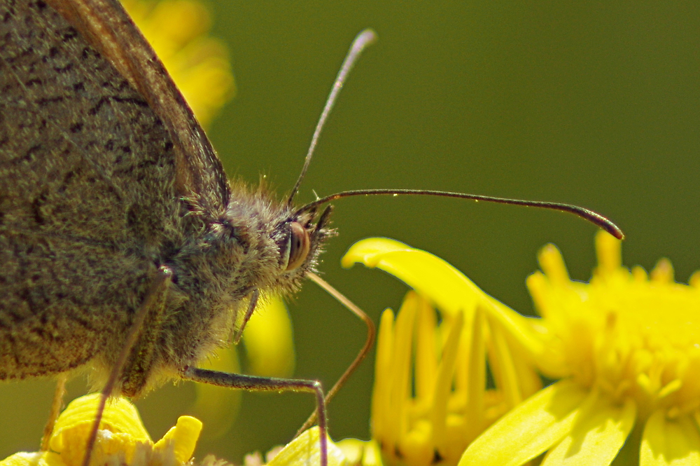 A meadow brown