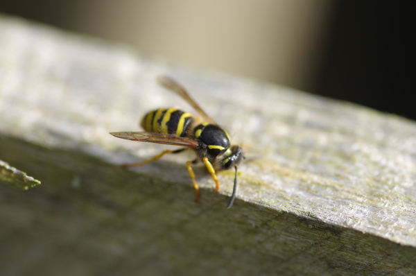 wasp chewing some wood