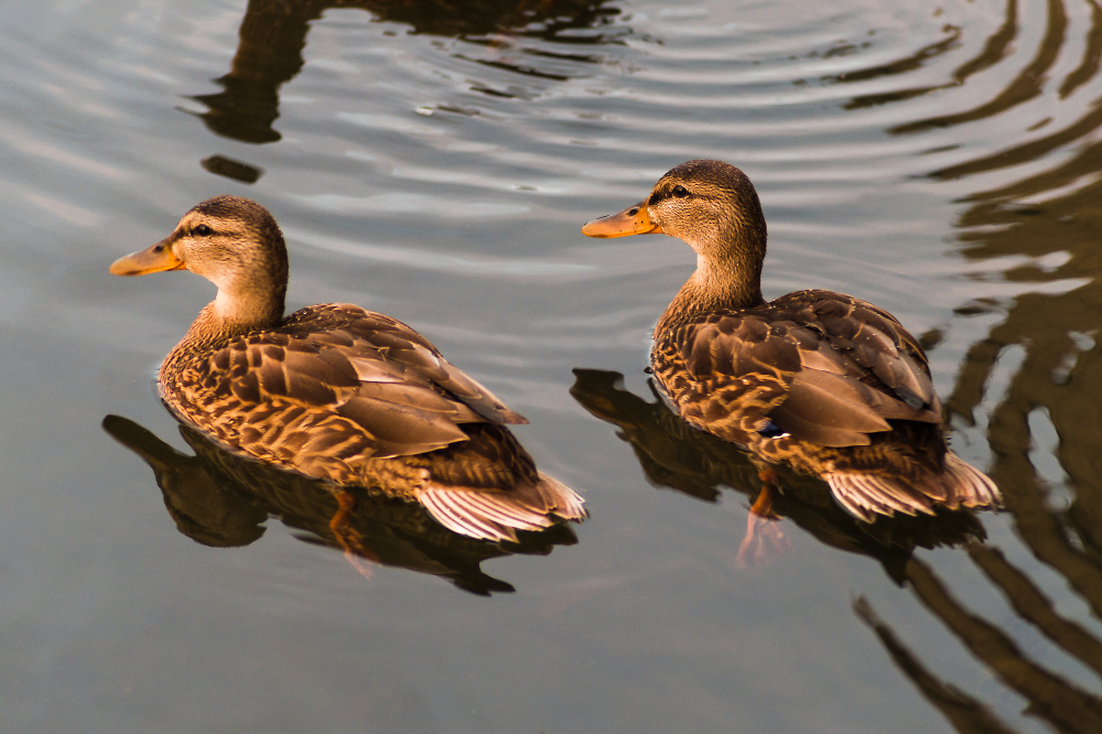 Not Rubber Duckies