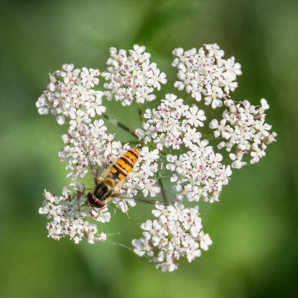 Hover Fly from above.