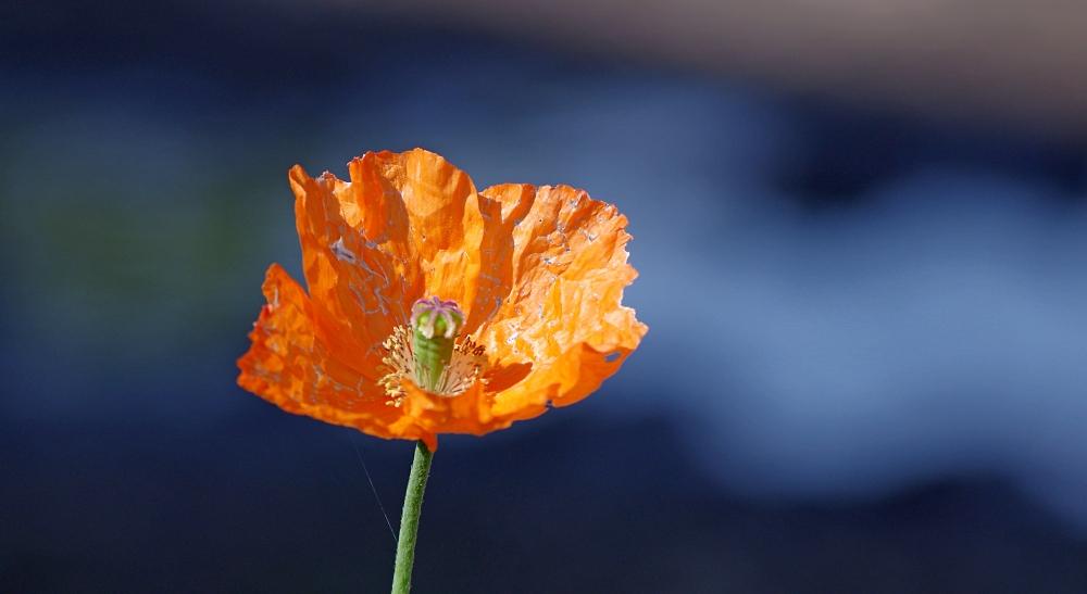 An orange Welsh poppy