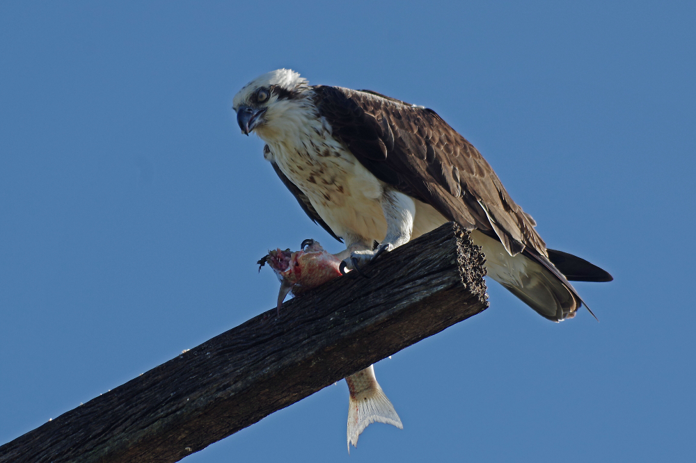 Osprey and it's lunch