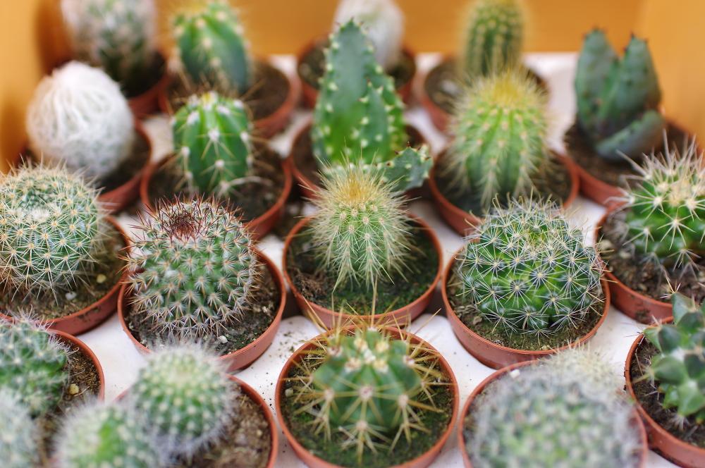 Cactus's