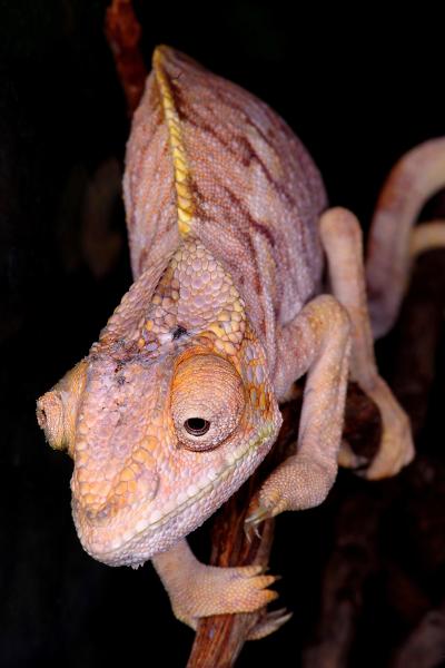 Night visitor, Chameleon